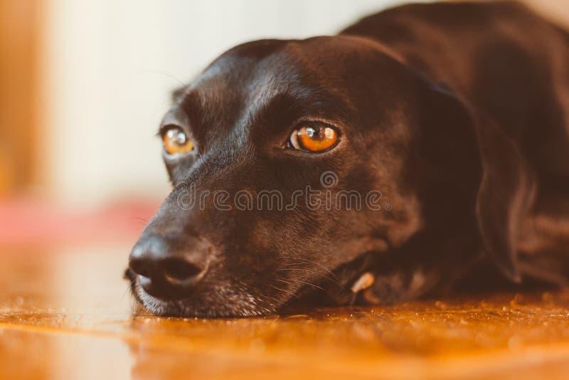 Cão preto lindo com o olhar triste que encontra-se para baixo Está na adoção ou seu proprietário saiu Cão sentimental, emocional  foto de stock