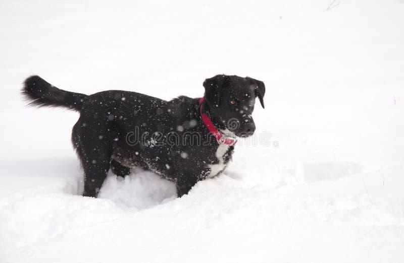 Cão preto na neve profunda imagens de stock royalty free