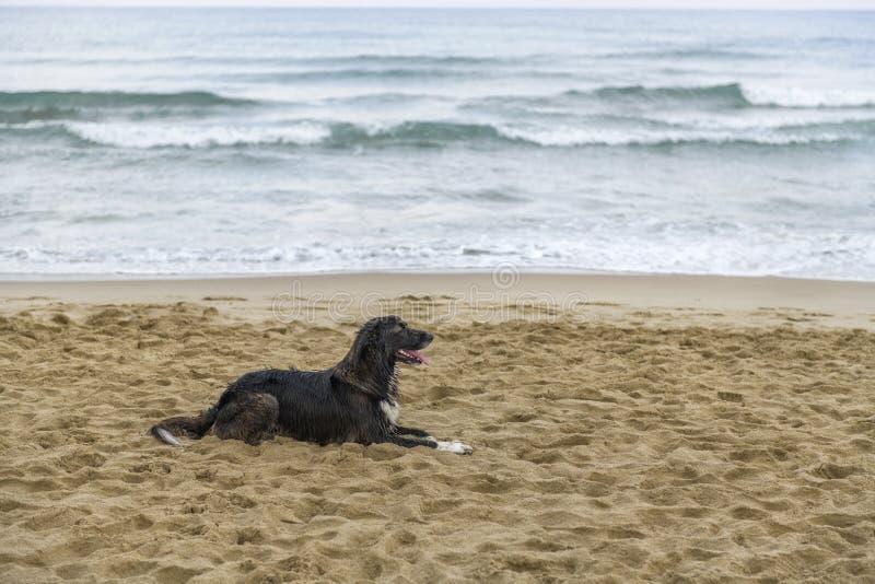 Cão preto na praia imagem de stock royalty free