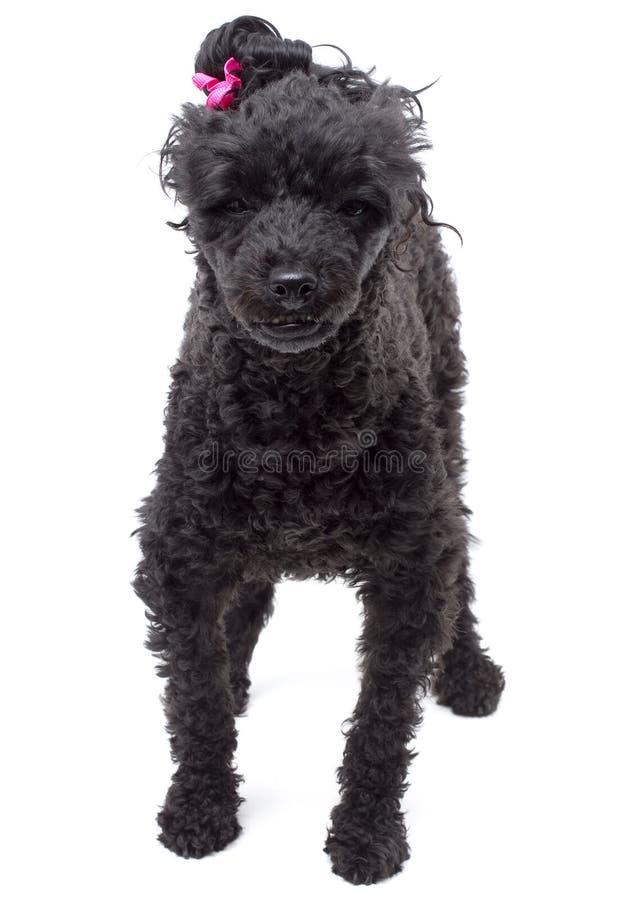 Cão preto no fundo branco fotografia de stock