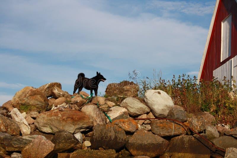 Cão preto no por do sol foto de stock royalty free