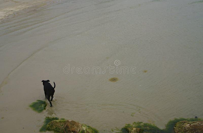 Cão preto que anda na praia imagem de stock royalty free