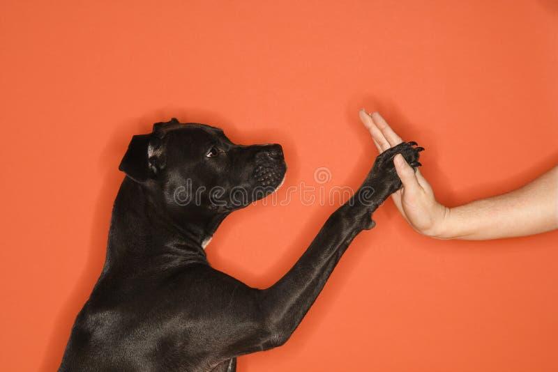 Cão preto que dá a elevação cinco da mulher. imagens de stock royalty free