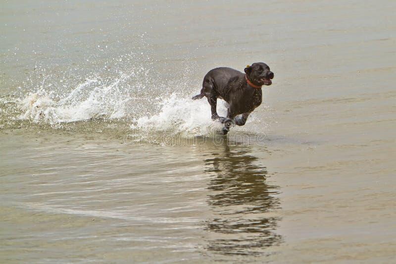 Cão preto que funciona rapidamente na água do oceano imagem de stock