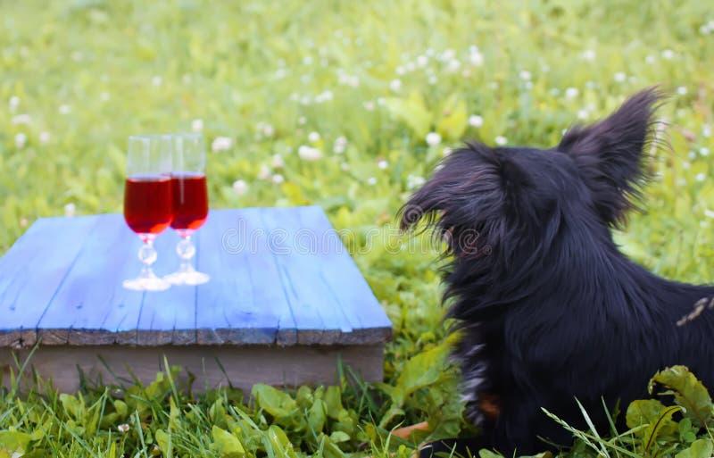 Cão preto que senta-se na grama verde e nos dois vidros com a videira vermelha caseiro em placas azuis fora no campo no verão fotografia de stock royalty free