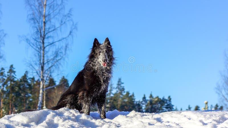 Cão preto que senta-se na neve fotografia de stock royalty free