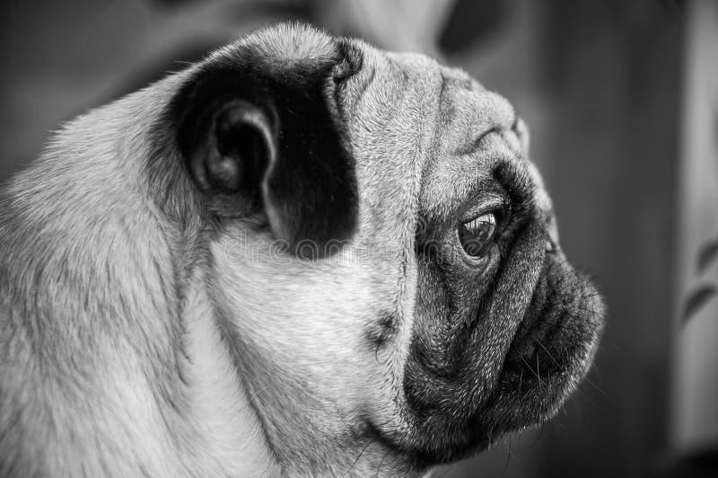 Cão, pug, preto e branco, um retrato à moda de um pug no profil foto de stock