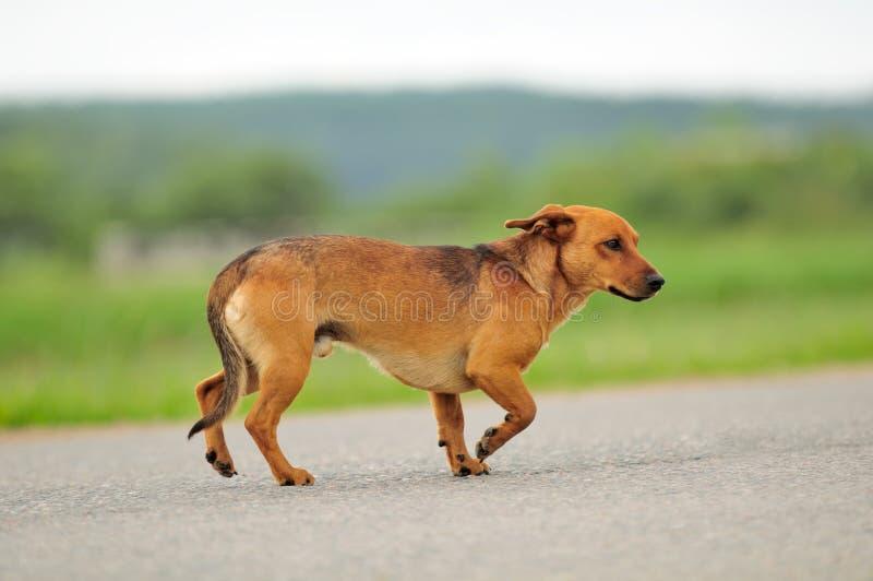 Cão que anda abaixo da estrada fotografia de stock royalty free