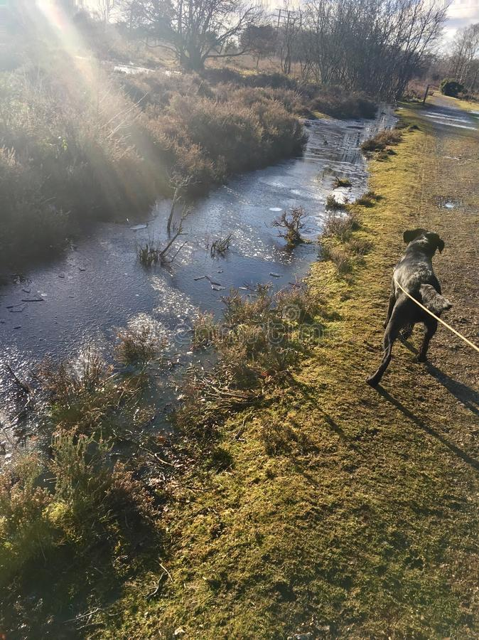 Cão que anda ao lado do rio gelado fotografia de stock