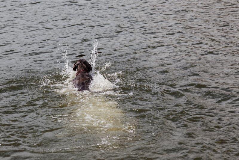 Cão que busca uma vara em Sylvan Lake imagens de stock royalty free