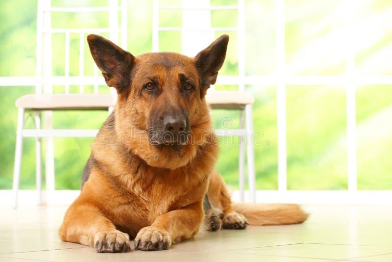 Cão que coloca na HOME foto de stock royalty free