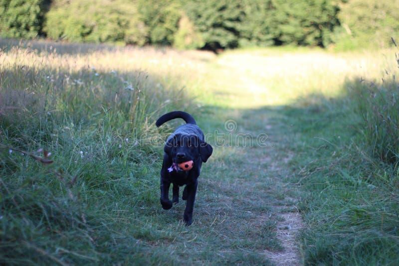 Cão que corre com sua bola fotografia de stock royalty free