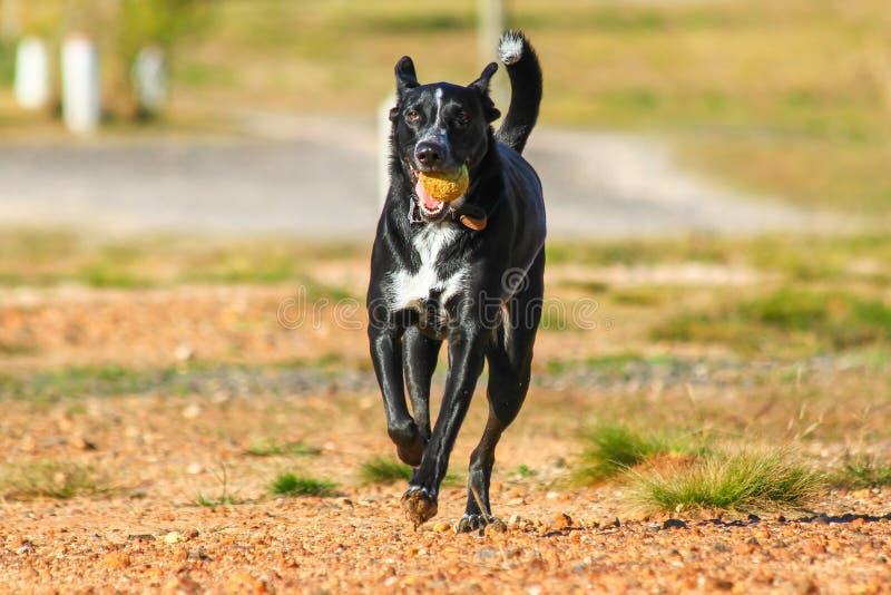Cão que corre com uma bola foto de stock