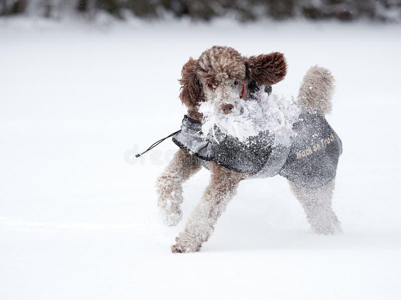 Cão que corre e que aprecia a neve em um dia de inverno bonito imagem de stock