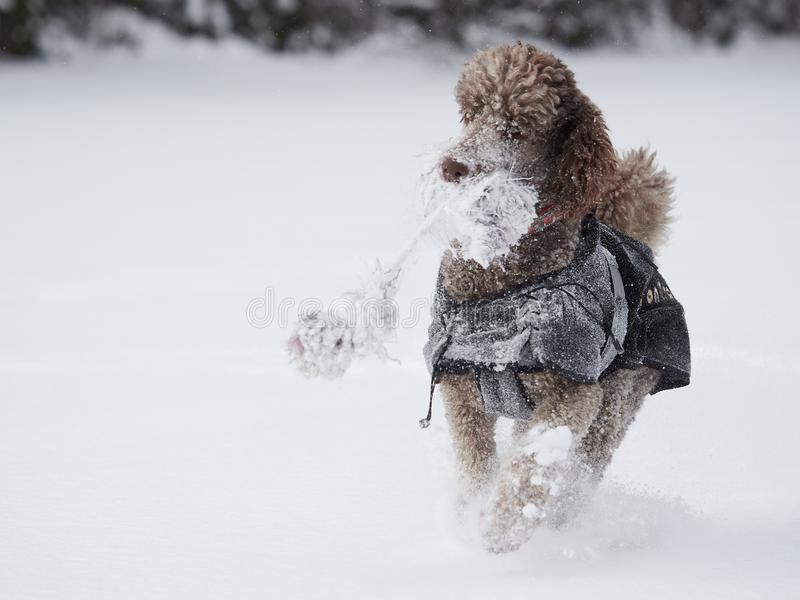 Cão que corre e que aprecia a neve em um dia de inverno bonito fotografia de stock