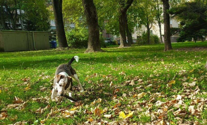 cão que corre em um parque verde imagens de stock royalty free