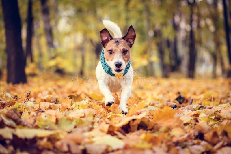 Cão que corre nas folhas caídas no parque bonito do outono da queda foto de stock