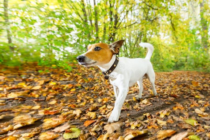 Cão que corre ou que anda no outono fotografia de stock royalty free