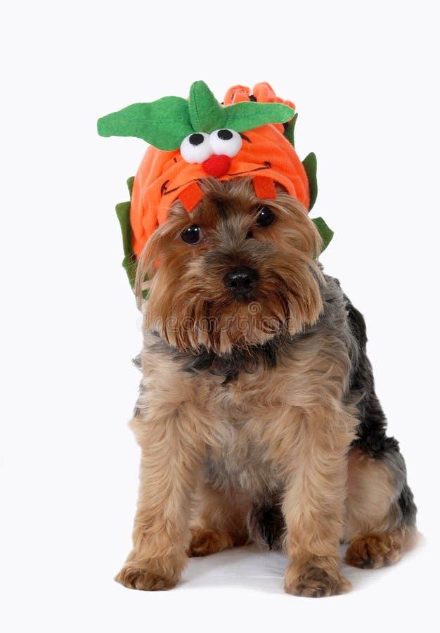 Cão que desgasta o traje de Halloween. fotografia de stock