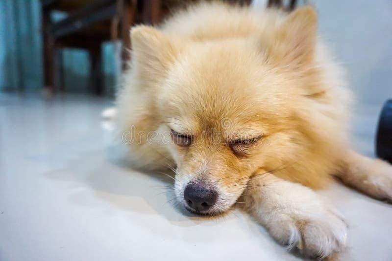 Cão que dorme e para tomar algum resto na sala fotos de stock