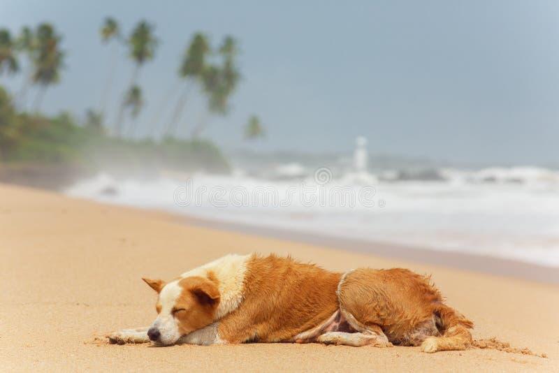 Cão que encontra-se na areia fotografia de stock