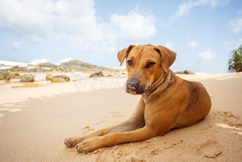 Cão que encontra-se na praia tropical fotos de stock