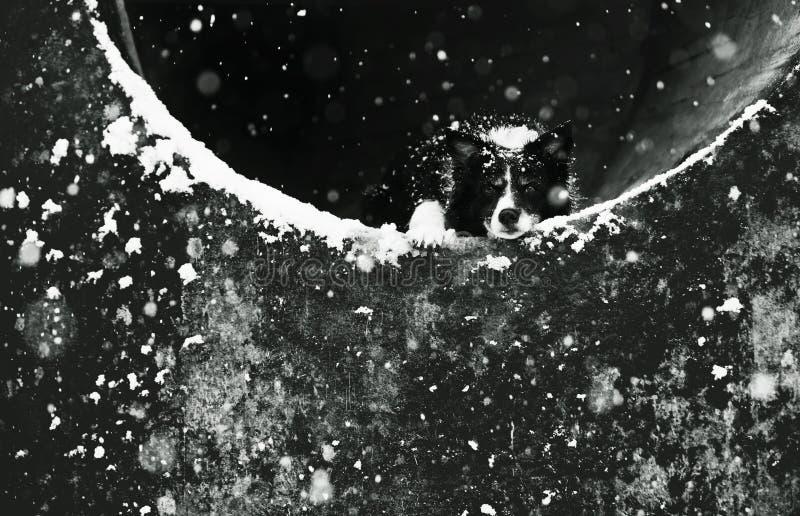 Cão que encontra-se no túnel concreto Retrato preto e branco de border collie mais velho bonito Nevar: Flocos de neve visíveis fotos de stock royalty free