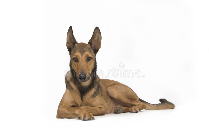Cão que encontra-se para baixo - isolado no branco fotografia de stock