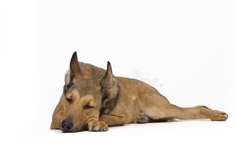 Cão que encontra-se para baixo - isolado no branco fotos de stock