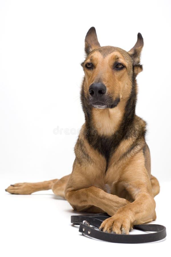 Cão que espera sua caminhada imagens de stock royalty free