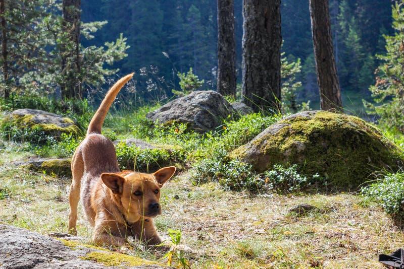 Cão que estica na floresta imagens de stock