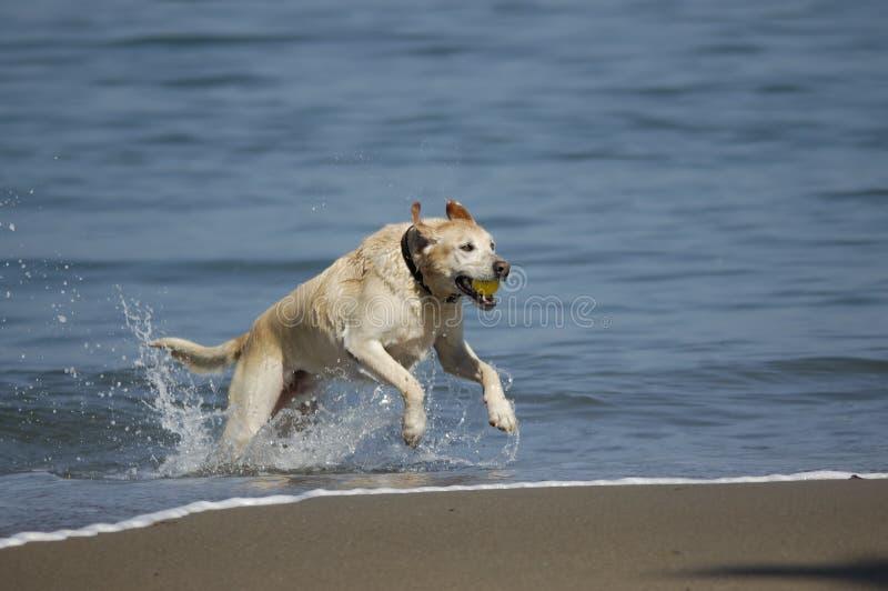 Cão que funciona fora de San Francisco Bay 1 fotografia de stock royalty free