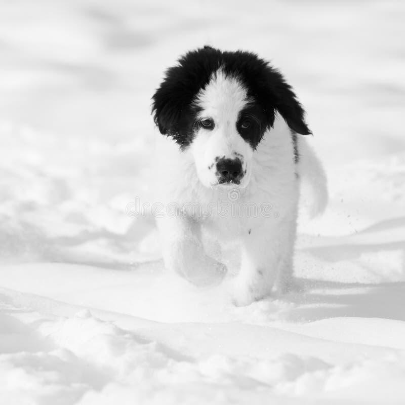 Cão que funciona na neve fotografia de stock royalty free