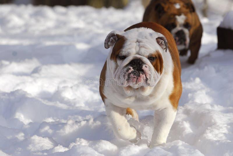 Cão que funciona na neve fotografia de stock