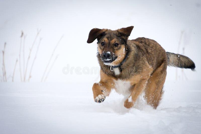 Cão que funciona na neve imagem de stock