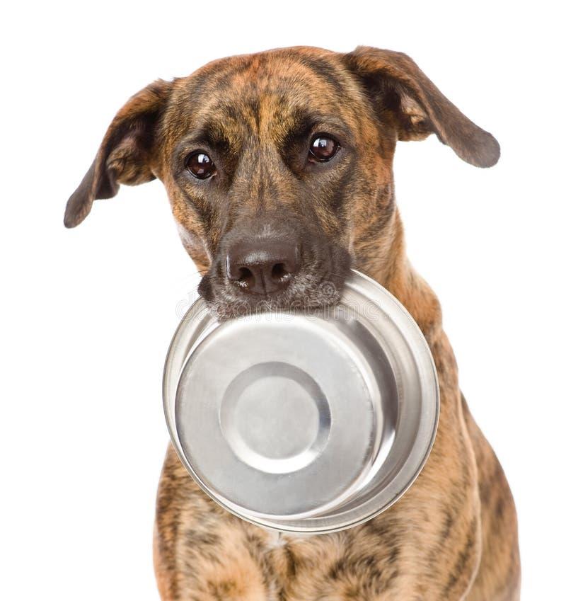 Cão que guarda a bacia na boca Isolado no fundo branco imagem de stock