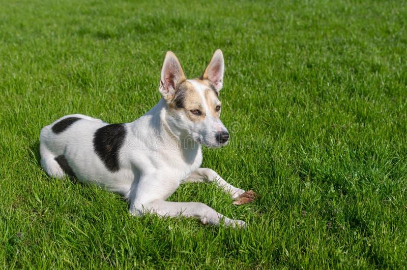 Cão que guarda seu osso favorito ao encontrar-se em um gramado verde foto de stock