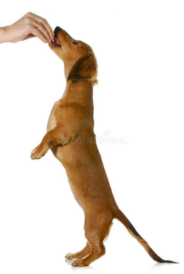 Cão que implora pelo alimento fotografia de stock royalty free