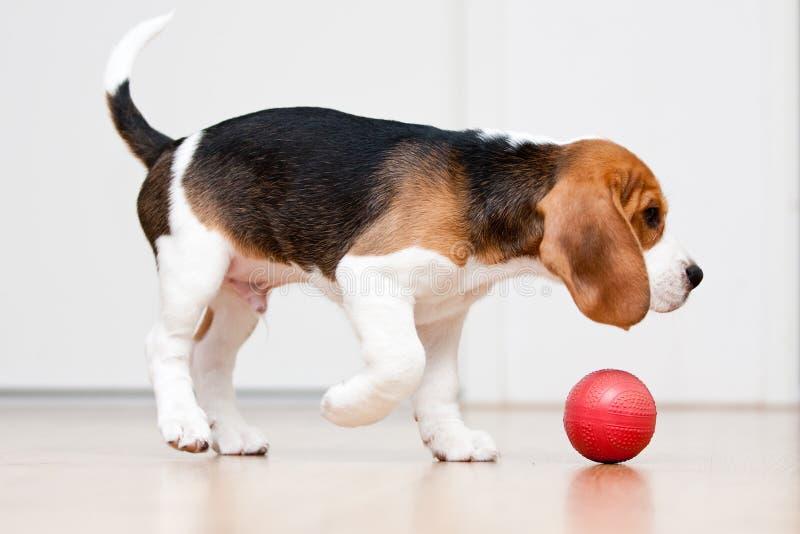 Cão que joga com esfera fotos de stock