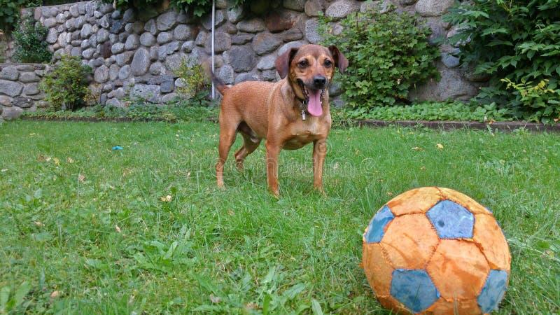 Cão que joga com uma esfera fotografia de stock royalty free