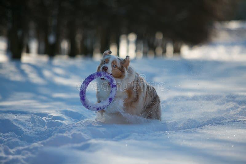 Cão que joga em um parque coberto de neve fotografia de stock
