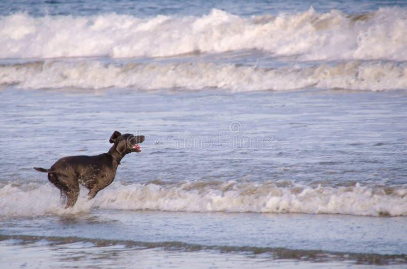 Cão que joga em uma praia fotos de stock royalty free
