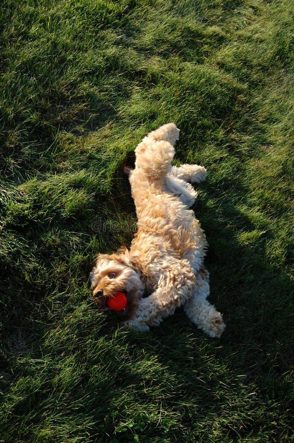 Cão que joga na grama fotos de stock