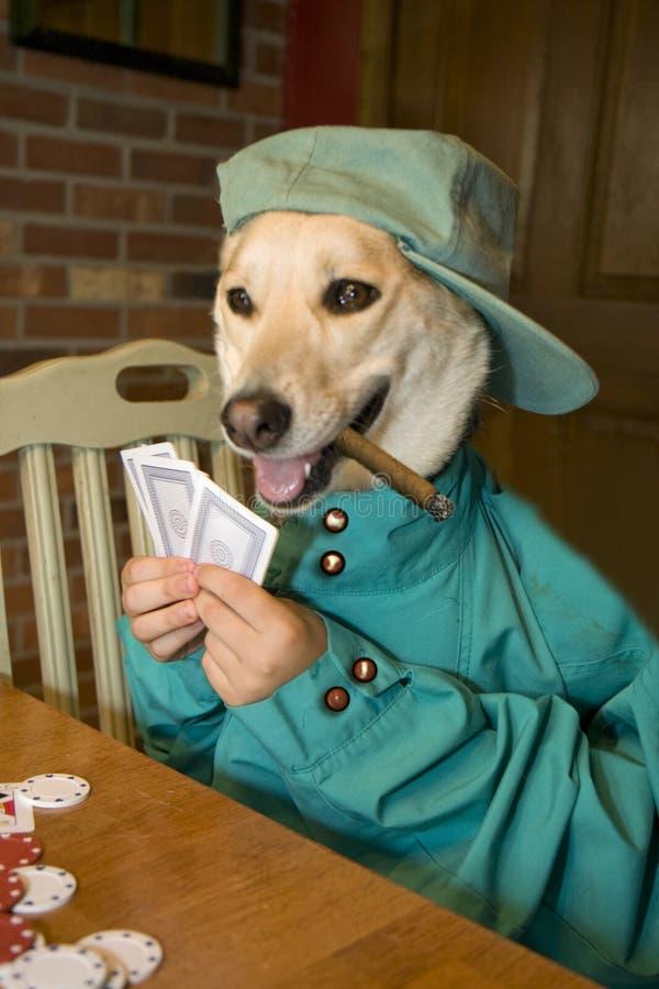 Cão que joga o póquer foto de stock