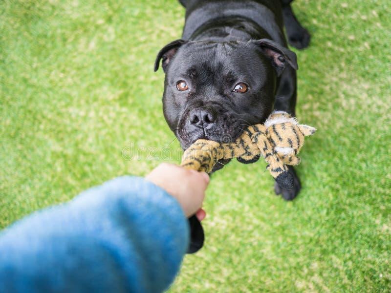 Cão que joga o reboque com um brinquedo na grama artificial foto de stock royalty free