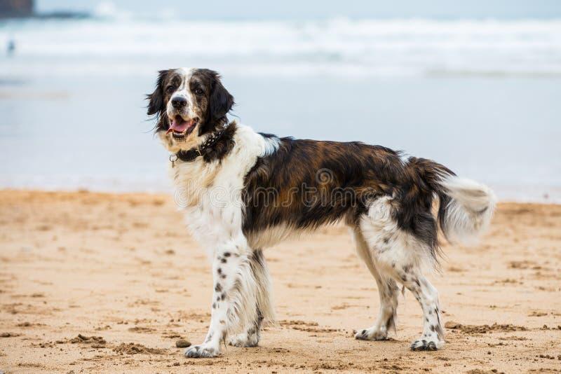Cão que levanta na praia foto de stock royalty free