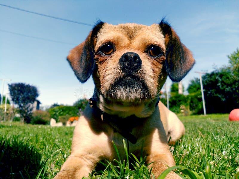 Cão que levanta o encontro na grama imagens de stock