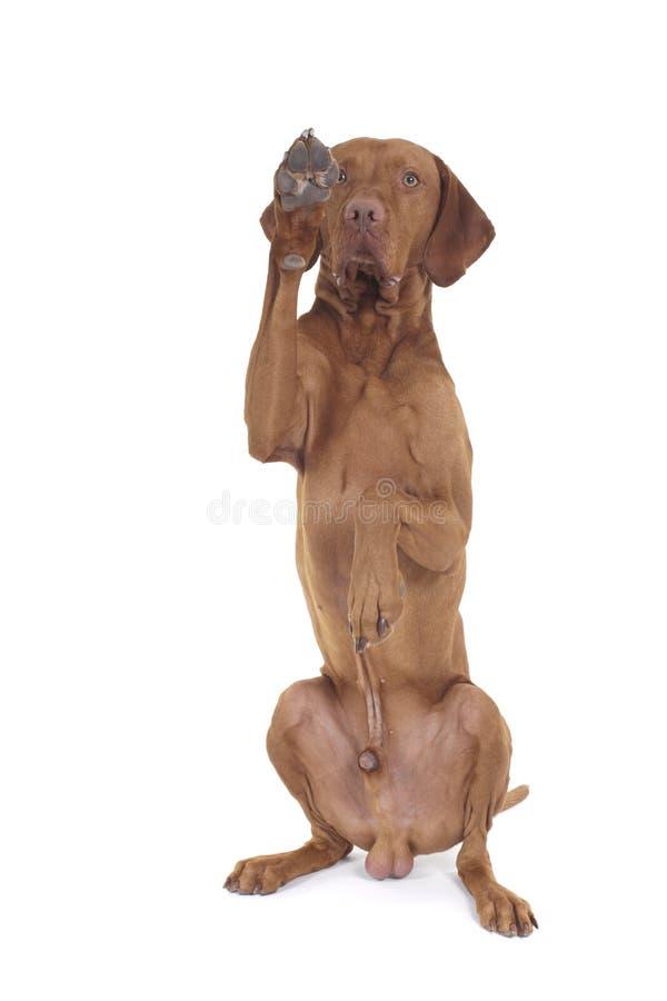 Cão que levanta a pata fotografia de stock