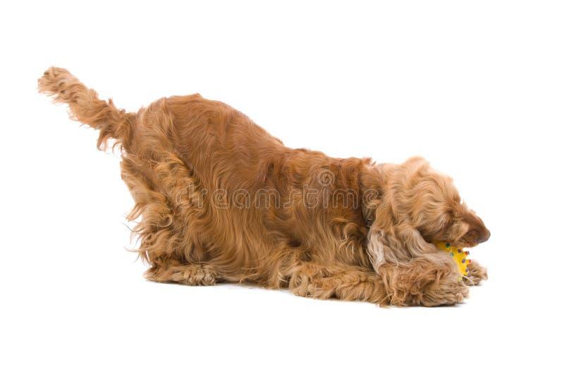 Cão que mastiga a esfera fotografia de stock royalty free