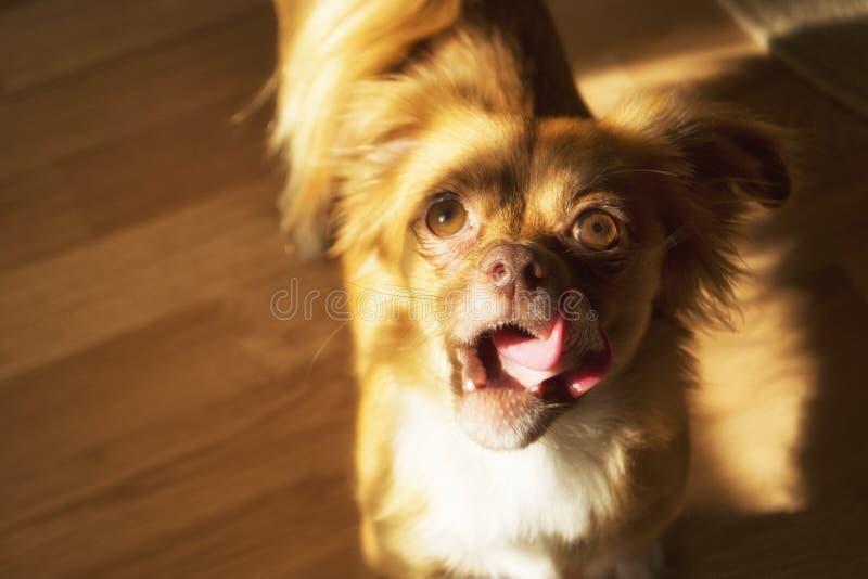 Cão que olha à mão com deleite fotografia de stock royalty free